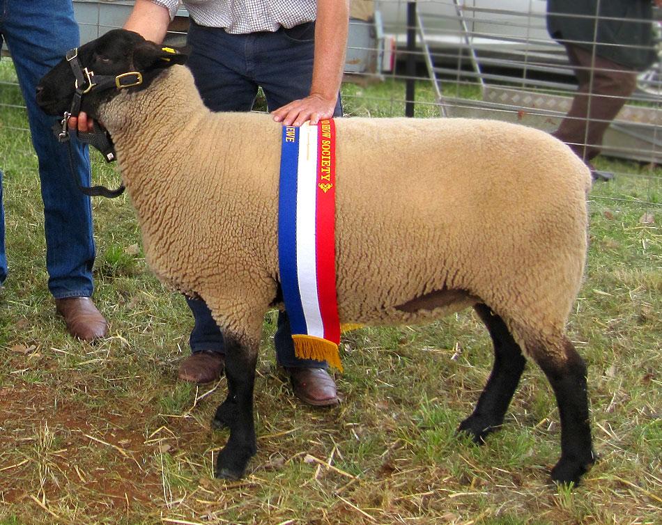 Oberon Suffolk Sheep Stud - Musk, Victoria